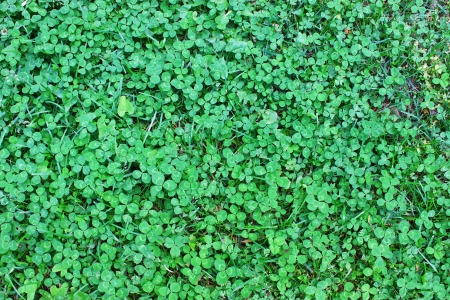 Clover also known as the Shamrock,the traditional Irish symbol coined by Saint Patrick for the Holy Trinity,an irish good luck charm and sacred plant photo