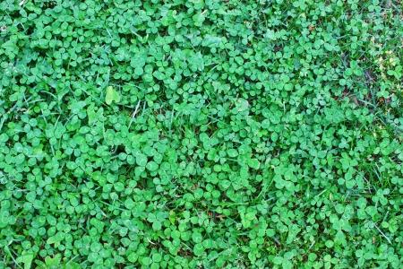 Klaver ook wel bekend als de Shamrock, de traditionele Ierse symbool bedacht door Saint Patrick voor de Heilige Drie-eenheid, een Ierse geluksbrenger en heilige plant Stockfoto - 14952703