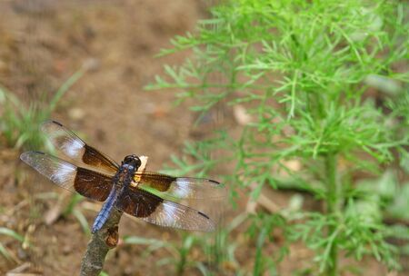 libellula: An Adult male Widow Skimmer (Libellula luctuosa) dragonfly resting on a stick with room for your text.
