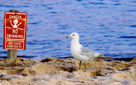 The Ring-billed Gull (Larus delawarensis) a common East Coast Seagull on the beach taking a break to read t he sign on the beach about no swimming with room for your text. photo