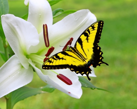 yellow stamens: A Gorgeous white Christmas Lily  Lilium longiflorum  outside with a Swallowtail Butterfly on it on a summer day with room for your text