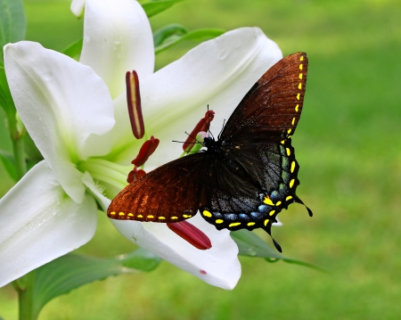 A Gorgeous white Christmas Lily  Lilium longiflorum  with a Spicebush Swallowtail Butterfly on it with room for your text using a shallow depth of field and selective focus on the stamin,stigma and style