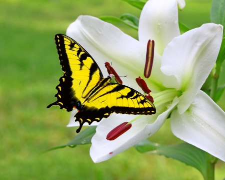 A Gorgeous white Christmas Lily  Lilium longiflorum  outside with a Swallowtail Butterfly on it on a summer day with room for your text  photo