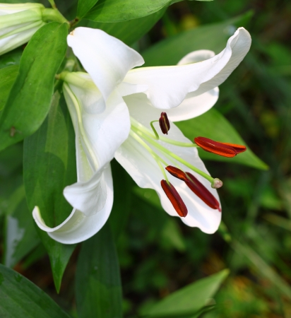 stamin: A Gorgeous white Christmas Lily  Lilium longiflorum  outside with room for your text using a shallow depth of field and selective focus on the stamin,stigma and style  Stock Photo
