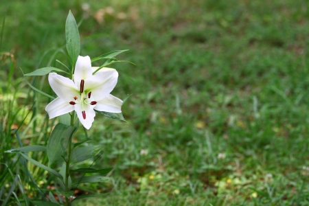 stamin: A Gorgeous pair of Christmas Lilies  Lilium longiflorum  growing outside with room for your text using a shallow depth of field and selective focus on the stamin,stigma and style