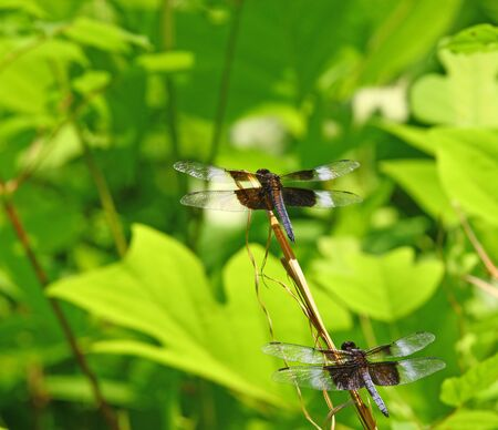 libellula: Two adult male widow skimmer  Libellula luctuosa  dragonlies lined up for takeoff on a twig using selective focus and a shallow depth of field  Stock Photo