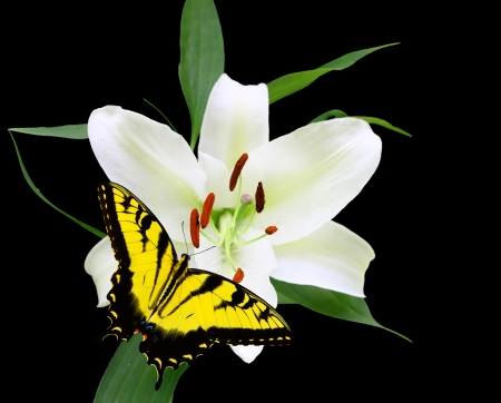 A Gorgeous Christmas Lily  Lilium longiflorum  isolated on black with a swallowtail Butterfly with room for your text using a shallow depth of field and selective focus on the stamen,stigma and style  photo
