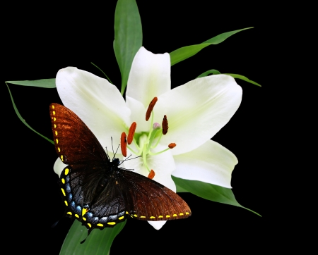 A Gorgeous Christmas Lily (Lilium longiflorum) and Spicebush Swallowtail Butterfly isolated on black with room for your text using a shallow depth of field and selective focus on the stamen,stigma and style. photo