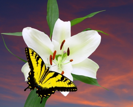 A Gorgeous Christmas Lily (Lilium longiflorum) against a fall nights sky with a swallowtail Butterfly with room for your text using a shallow depth of field and selective focus on the stamen,stigma and style. photo