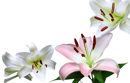A Beautiful pair of Christmas Lilies  Lilium longiflorum  and a Pink and White Lily isolated on white with room for your text