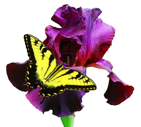 plantae: A Beautiful Eastern Tiger Swallowtail Butterfly on a gorgeous black velvet Bearded iris isolated on white with room for your text  Stock Photo
