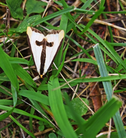 A small beige and tan moth with a t on his back among the grass with room for your text  photo