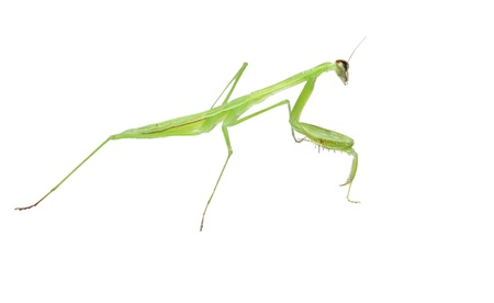 mantodea: A wounded young Praying mantis (Mantodea) isolated on white with one eye and antenna left after a fight using a shallow depth of field and selective focus with room for your text. Stock Photo