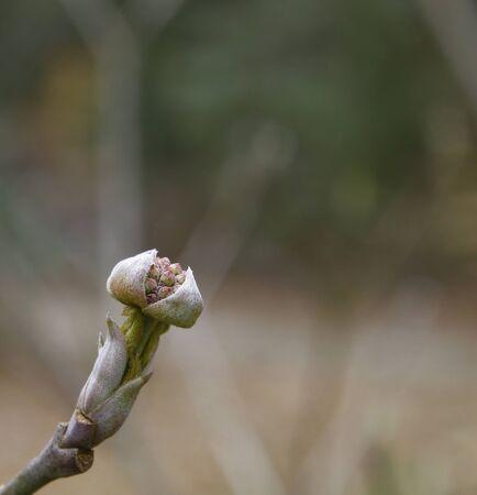 浅い被写し界深度を使用して春の日にピンクのハナミズキの花序のクローズ アップ。