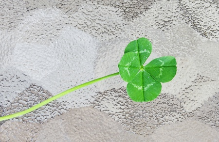 A fresh picked four leaf clover on a piece of frosted glass photo