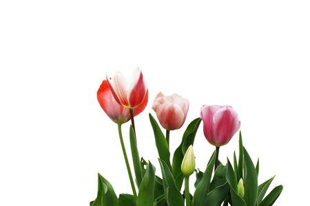 angiosperms: Four newly emerging young tulips isolated on white.