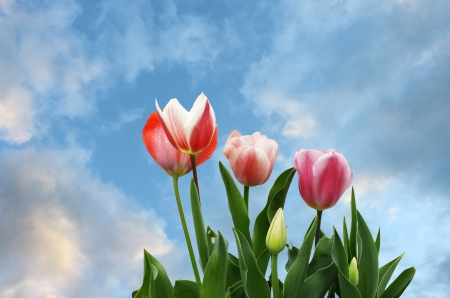 Four newly emerging young tulips against a beautiful blue cloud filled sky.