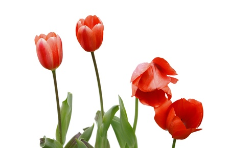 Four newly emerging young tulips isolated on white with room for your text. Stock Photo - 15150842