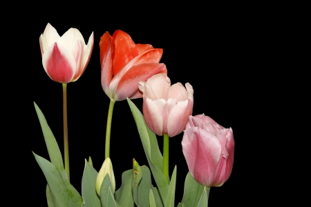 Four newly emerging young tulips isolated on black. Stock Photo - 15150846