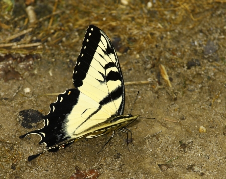 An Eastern Tiger Swallowtail Butterfly on the ground eating something with room for your text