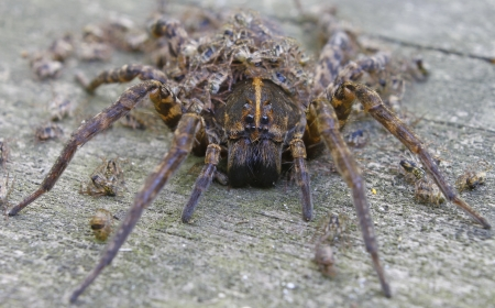 A closeup using a shallow depth of field of a Female Wolf Spider with her Babies all over and around her with the main attention being brought to the face and eyes. photo