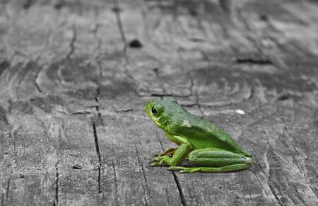 green tree frog: An American Green Tree Frog outside on an old piece of wood with room for your text
