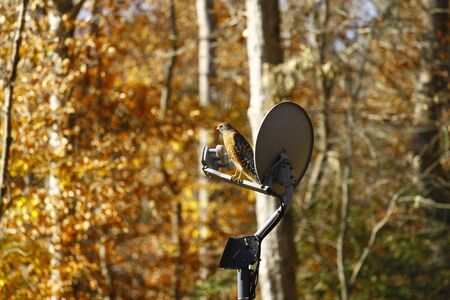 shouldered: A Red-shouldered Hawk perched on a satellite dish scanning the area for his prey in the woods Stock Photo