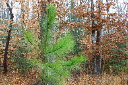 A young dew covered Pinus palustris, commonly known as the Longleaf Pine tree among some beech trees in the woods 免版税图像