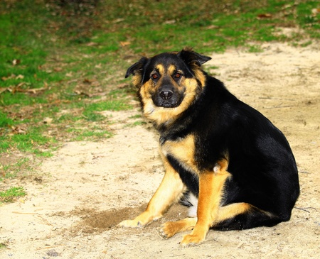 german shepard: A beautiful, lovely, gorgeous, Chow, Rottweiler, German Shepard mix breed dog outside Stock Photo
