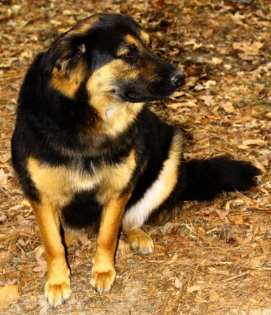 A beautiful, lovely, gorgeous, Chow, Rottweiler, German Shepard mix breed dog outside Stock Photo - 17847458