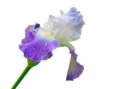 bearded iris: A closeup of a single raindrop covered purple and white bearded Iris outside in nature Stock Photo