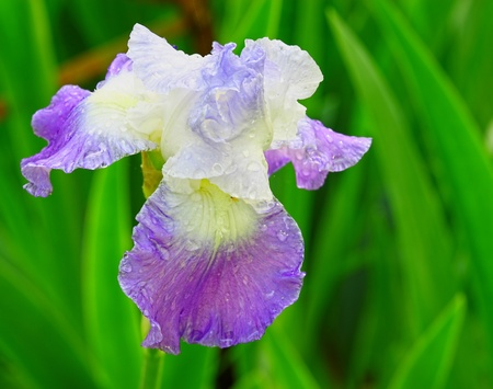 A closeup of a single rain covered purple and white bearded Iris outside in nature Stock Photo