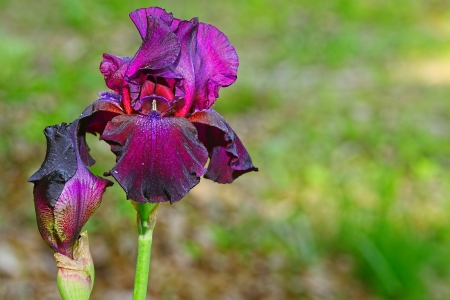 A bright and colorful black cherry deep purple Iris flower outside on a spring day