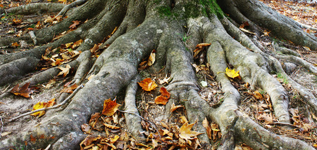 An entire Beech tree root system growing along the top of the ground all around the base if the tree in the woods during the fall
