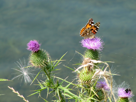 multy: Butterfly Sitting on a Thistle Flower  Painted Lady Butterfly on Purple Thistle Flower Stock Photo