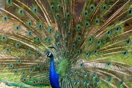 multy: Beautiful Peacock with Feathers  Male Peacocok