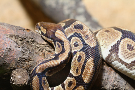 python: Python Snake on Tree  Python Regius on a Branch Stock Photo