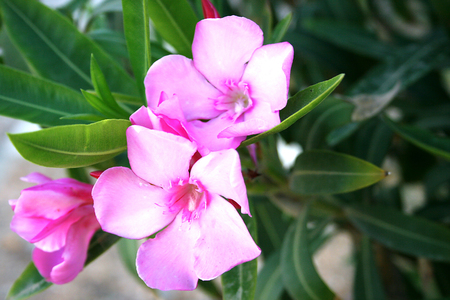 Beautiful pink flowers in tropical city garden.