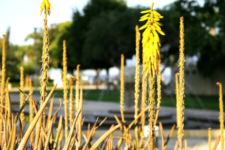 Dry and yellow flowers in city park. Stock Photo - 1565302