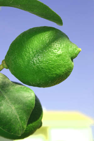 Two green lemons on the lemon tree. photo