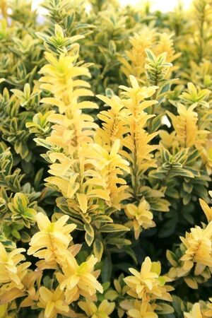 Nice yellow and green plant in the garden. Stock Photo - 2389416