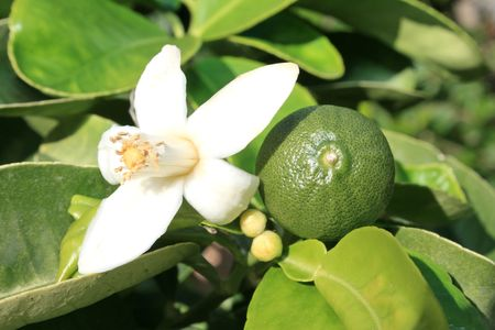 Citrus flower and pamela fruit on the tree.