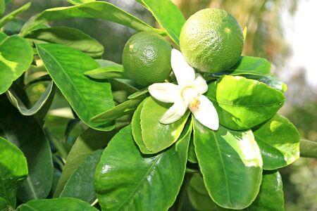 Citrus flower and pamela fruit on the tree. photo