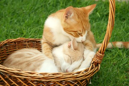 gape: Beautiful brothers kittens in the basket.