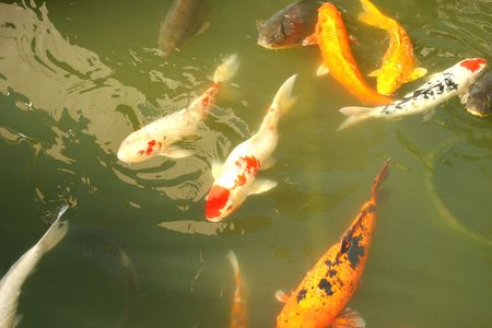 warm water fish: Koi fish in the garden pond. Stock Photo
