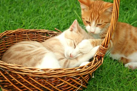 gape: Beautiful tawny and red kittens in the baskets.