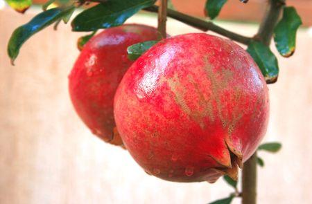 Ripe pomegranate with rain drops on the tree. Stock Photo - 5223162