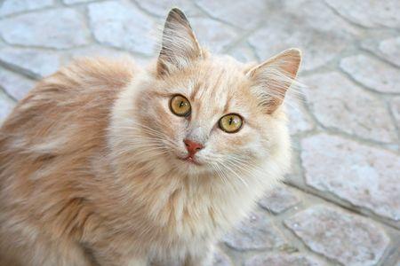 tawny: Tawny cat looking to camera.