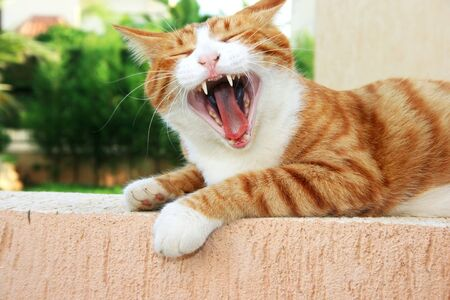 Red cat with open mouth. photo