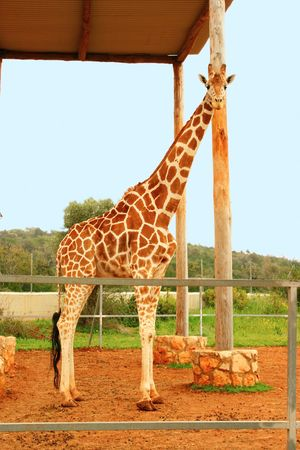 Giraffe vertical picture in zoo. Stock Photo - 7112417